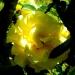 Roses de La Chatonnière (2)