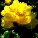Roses de La Chatonnière (1)