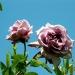 Roses de La Chatonnière (3)