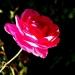 Rose de Villandry